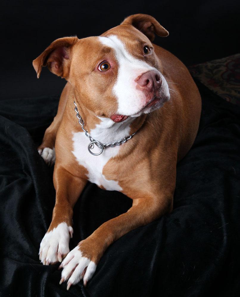 pit bull dog family