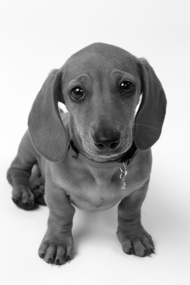 dachshund in black and white